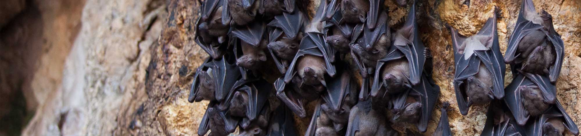 group of hanging bats